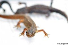 Salamanders op het Veldje